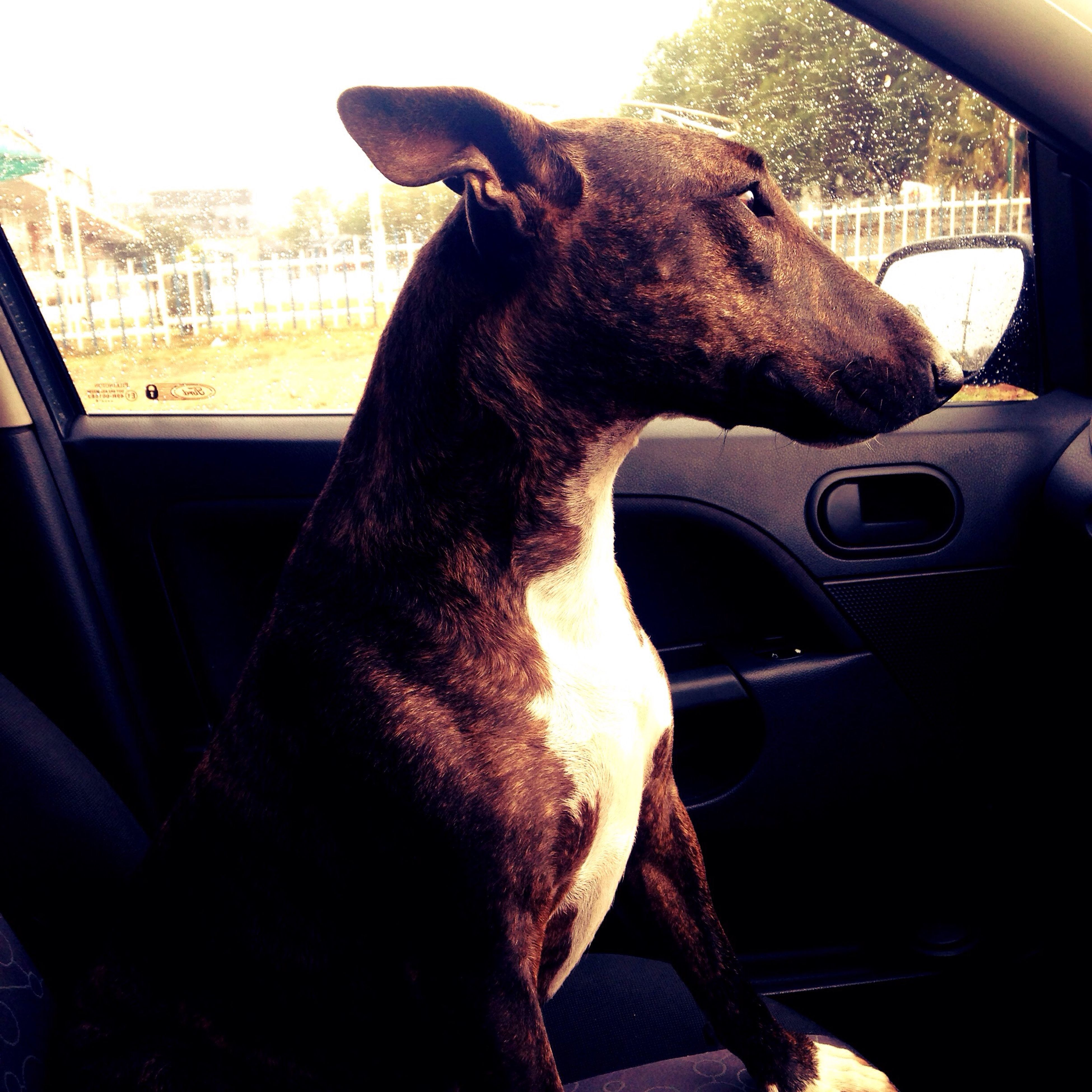 My Baby Girl Bull Terrier One Animal Driving Around Time To Visit Friends ❤