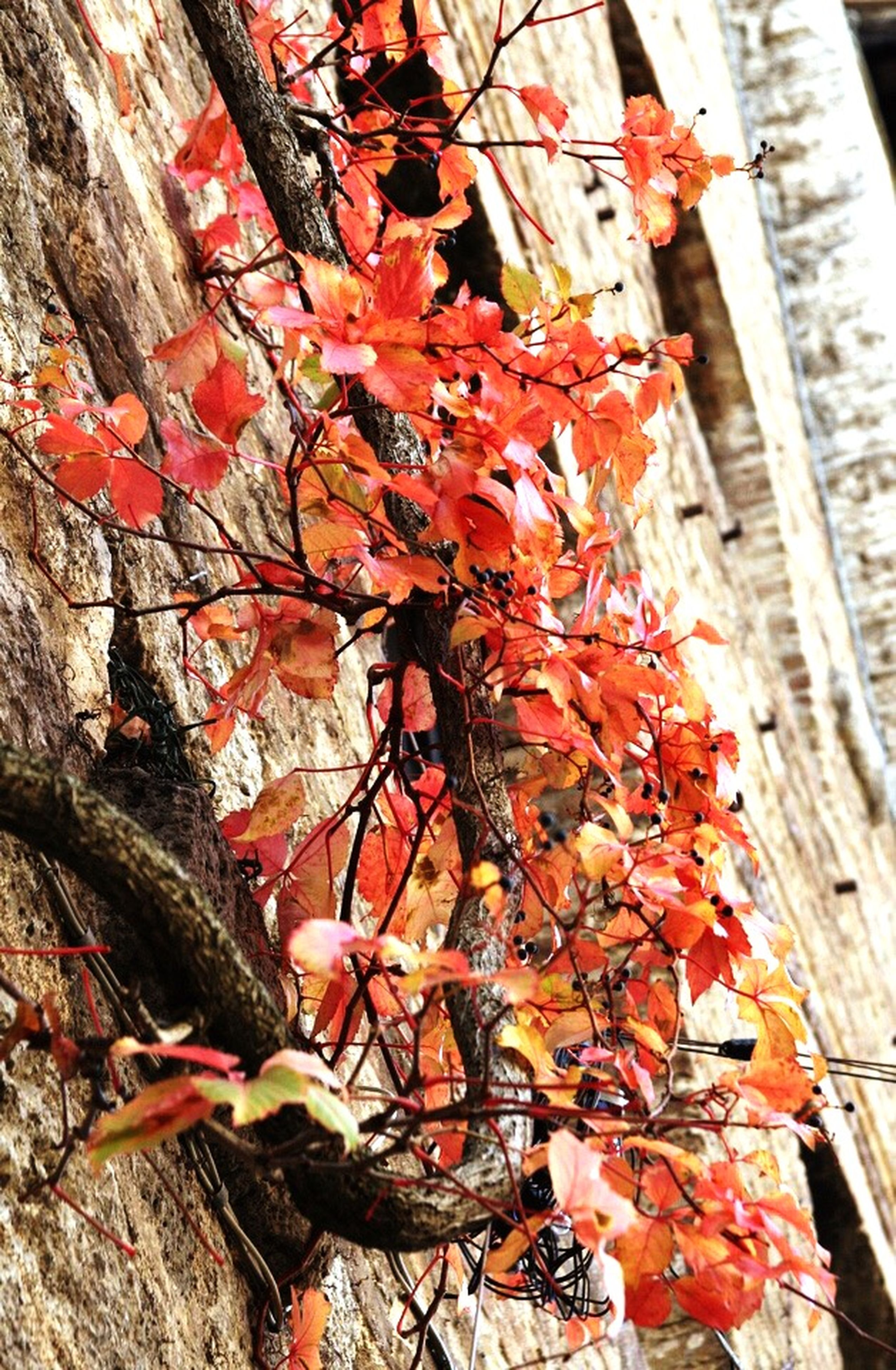 autumn, red, built structure, building exterior, leaf, architecture, change, tree, orange color, branch, season, growth, day, low angle view, close-up, outdoors, nature, house, wall - building feature, plant