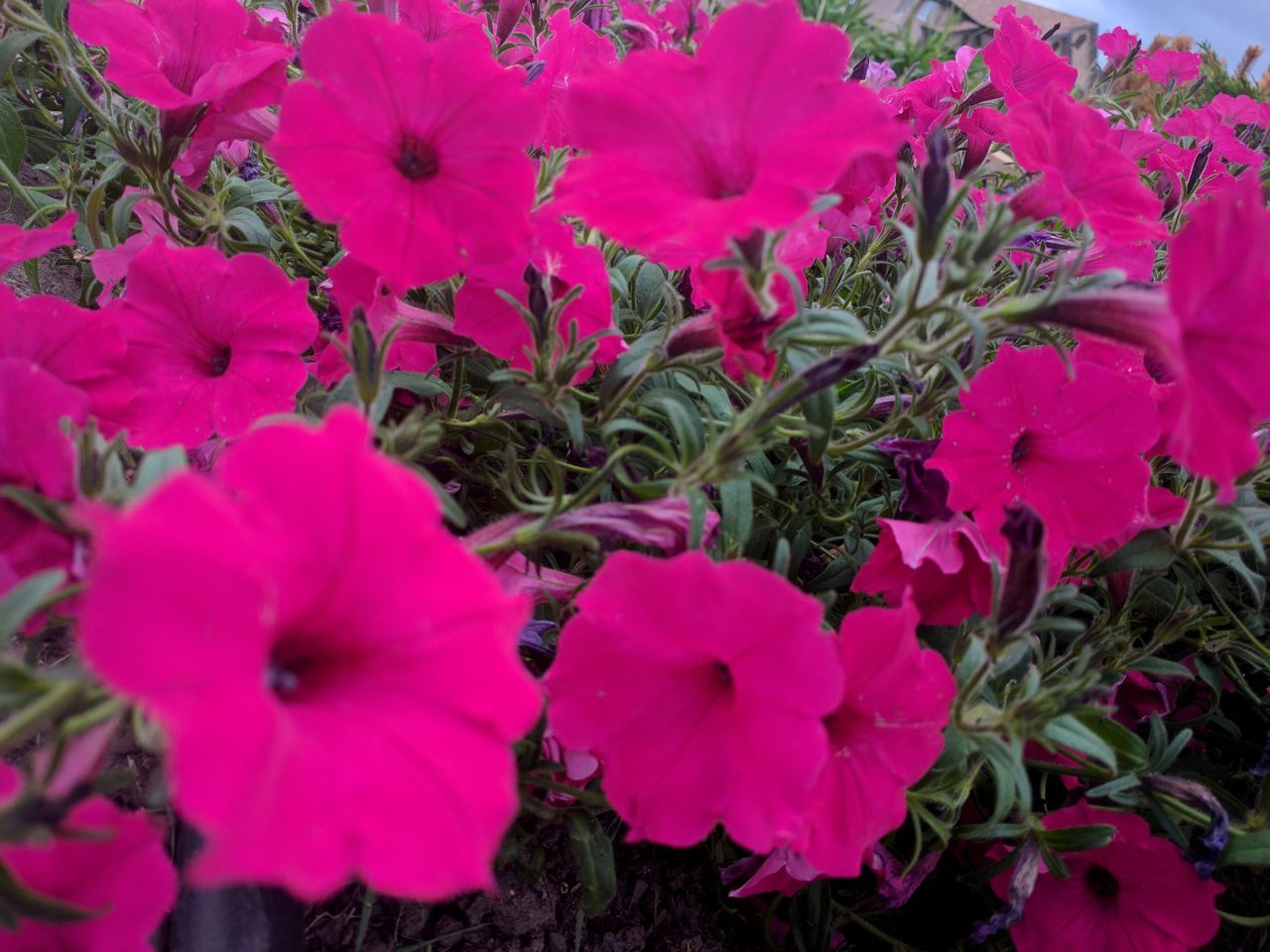 flower, growth, petal, plant, nature, fragility, beauty in nature, flower head, no people, blooming, outdoors, freshness, day, close-up, petunia