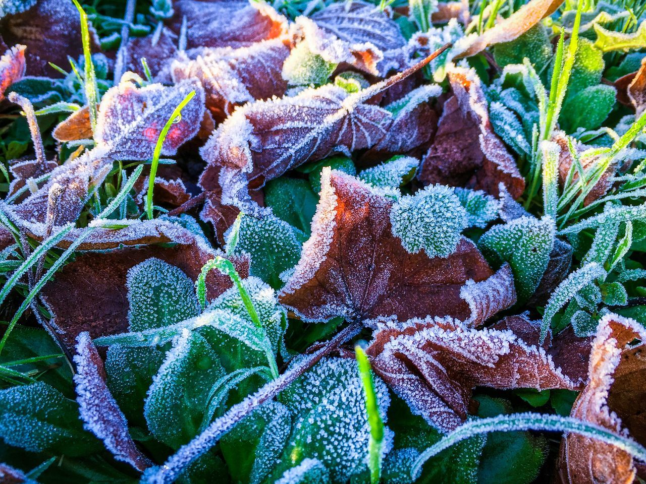 Close-up Nature Frost Leaf Beauty In Nature Plant Growth Frosty Mornings