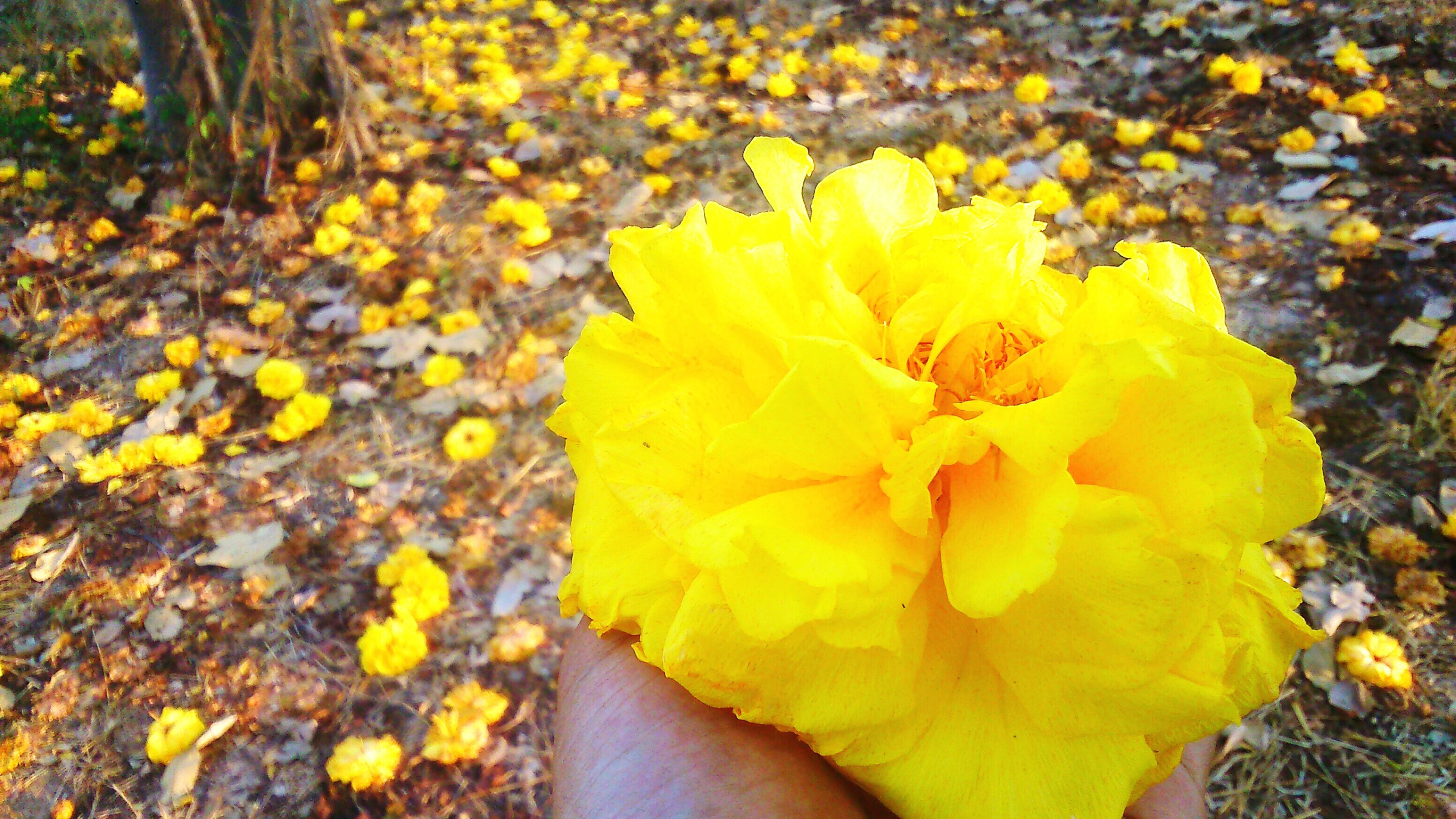 flower, yellow, fragility, petal, freshness, flower head, beauty in nature, growth, nature, high angle view, one person, blooming, field, leaf, plant, in bloom, season, outdoors, day, blossom