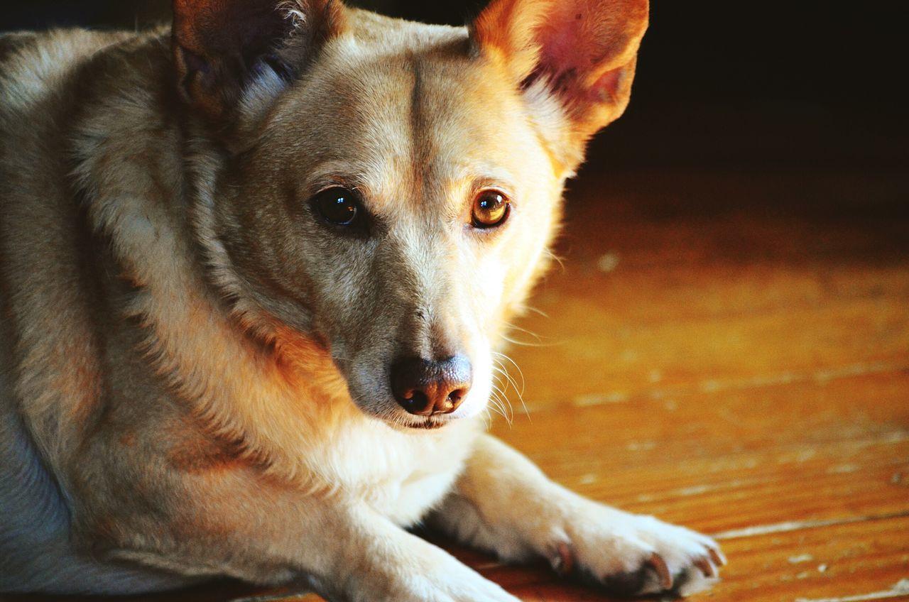 Beautiful stock photos of corgi, Animal Themes, Canine, Close-Up, Corgi