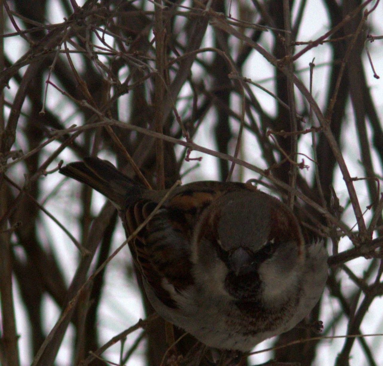 one animal, animal themes, bird, animals in the wild, animal wildlife, perching, focus on foreground, no people, day, nature, branch, close-up, outdoors, tree, sparrow, bird of prey