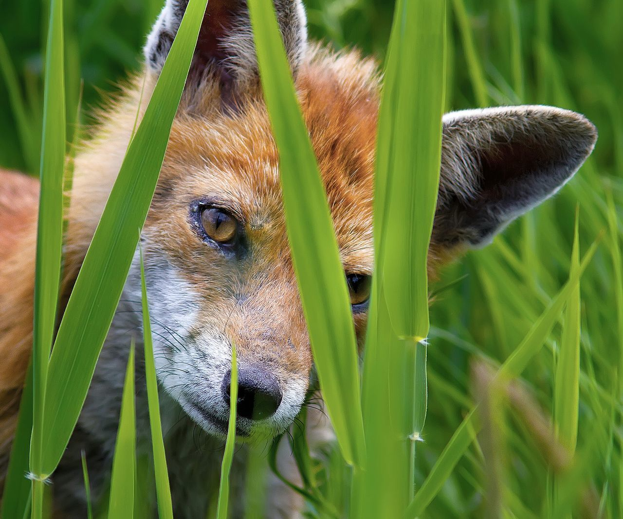 Beautiful stock photos of fox, Animal Head, Animals In The Wild, Blade Of Grass, Cub