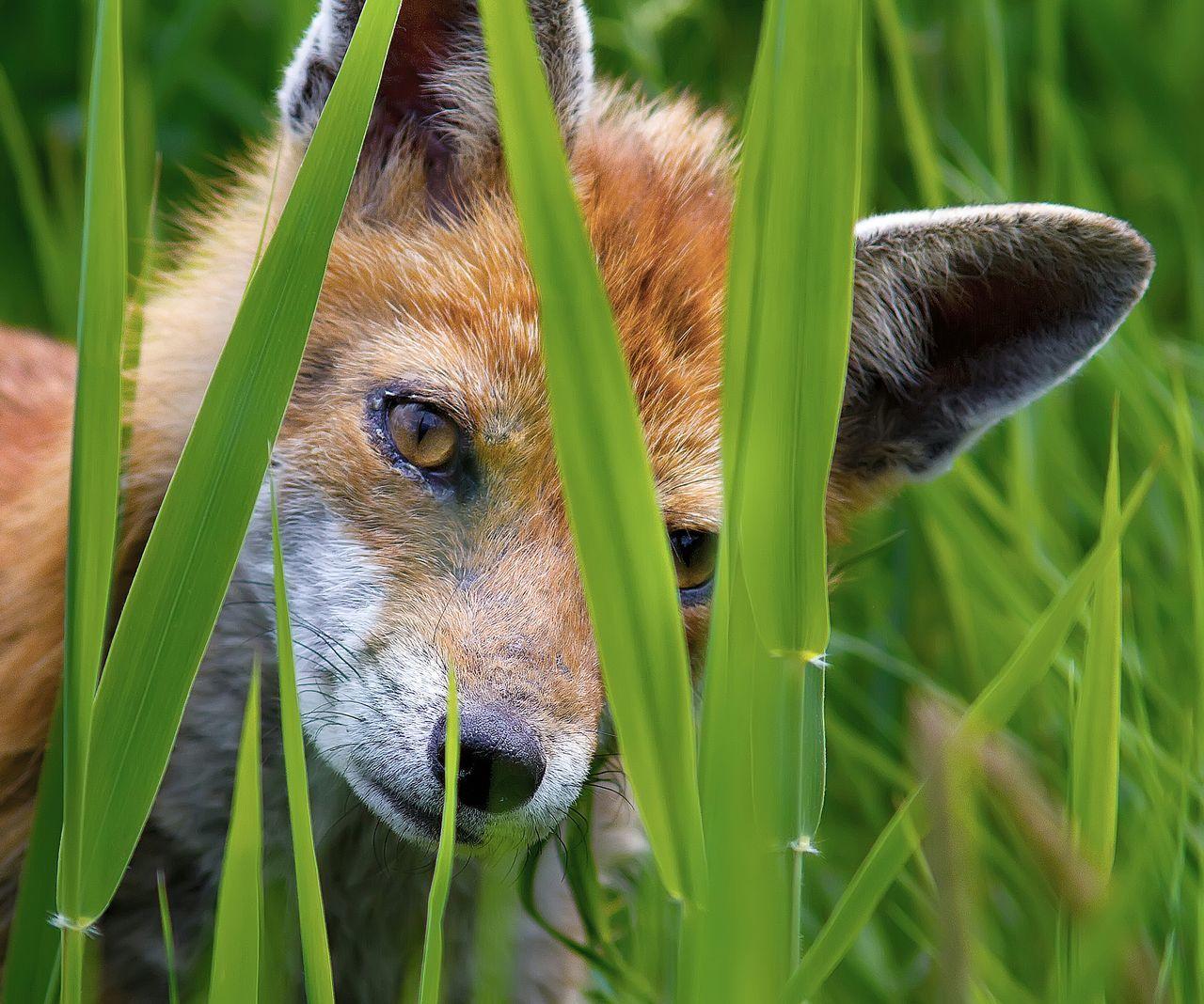 Beautiful stock photos of fox, Animal Head, Animals In The Wild, Blade Of Grass, Cub