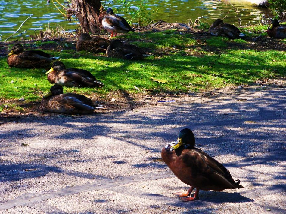 Ducks at the Lake Animal Themes Animal Wildlife Animals In The Wild Bird Day Duck Ducks DUCKS :) Ducks At The Lake Ducks ❤ Ducks😄 Feathers Feathers Of A Bird Feathers♡ Nature No People One Animal Outdoors Perching Shadow Sunlight