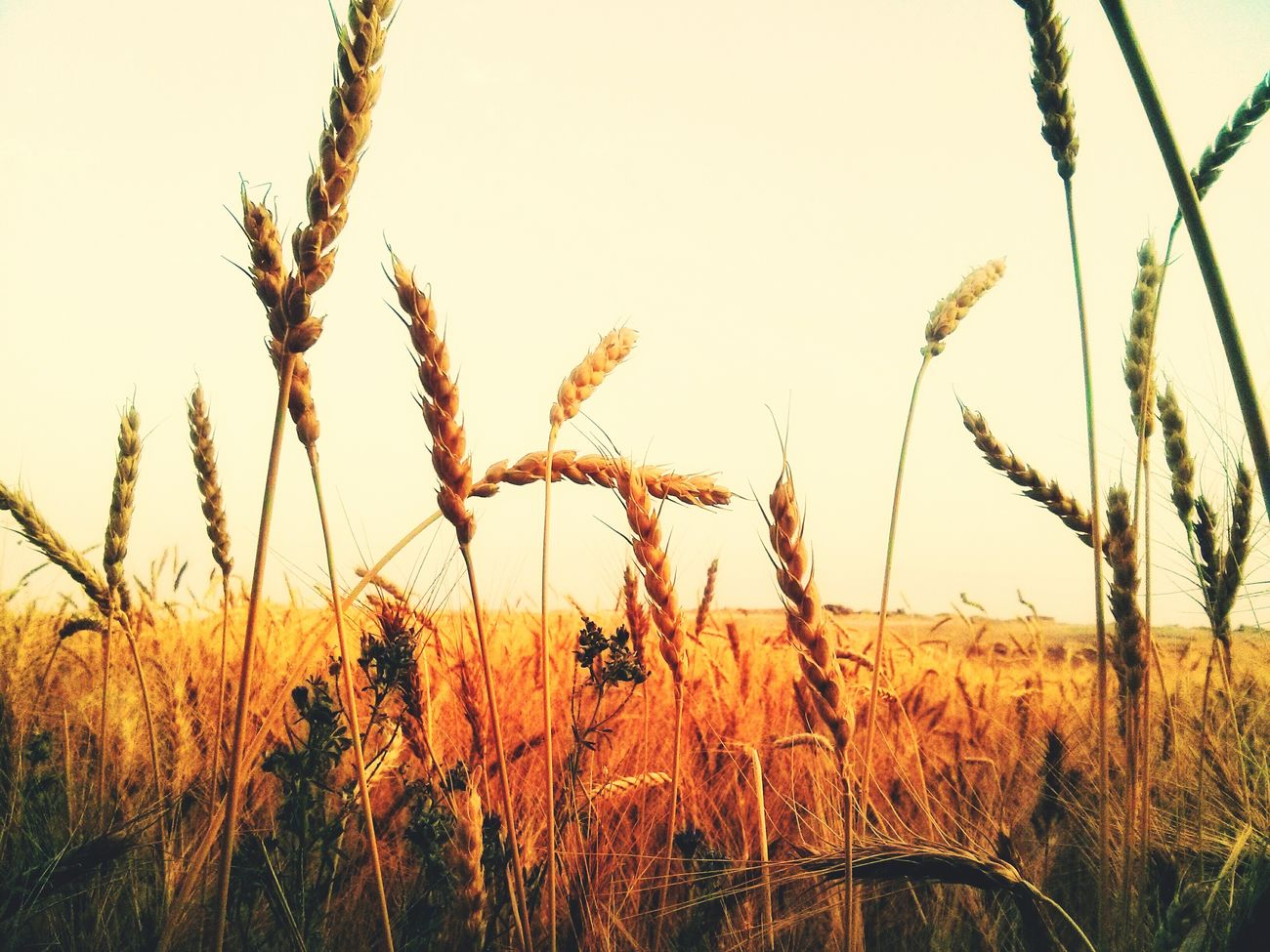 Grain field Crop  No People Field Agriculture Beauty In Nature Nature Sky Day Plant Wheat Field Wheat Tranquility Outdoors IPhoneography Eye4photography  Fall Autumn