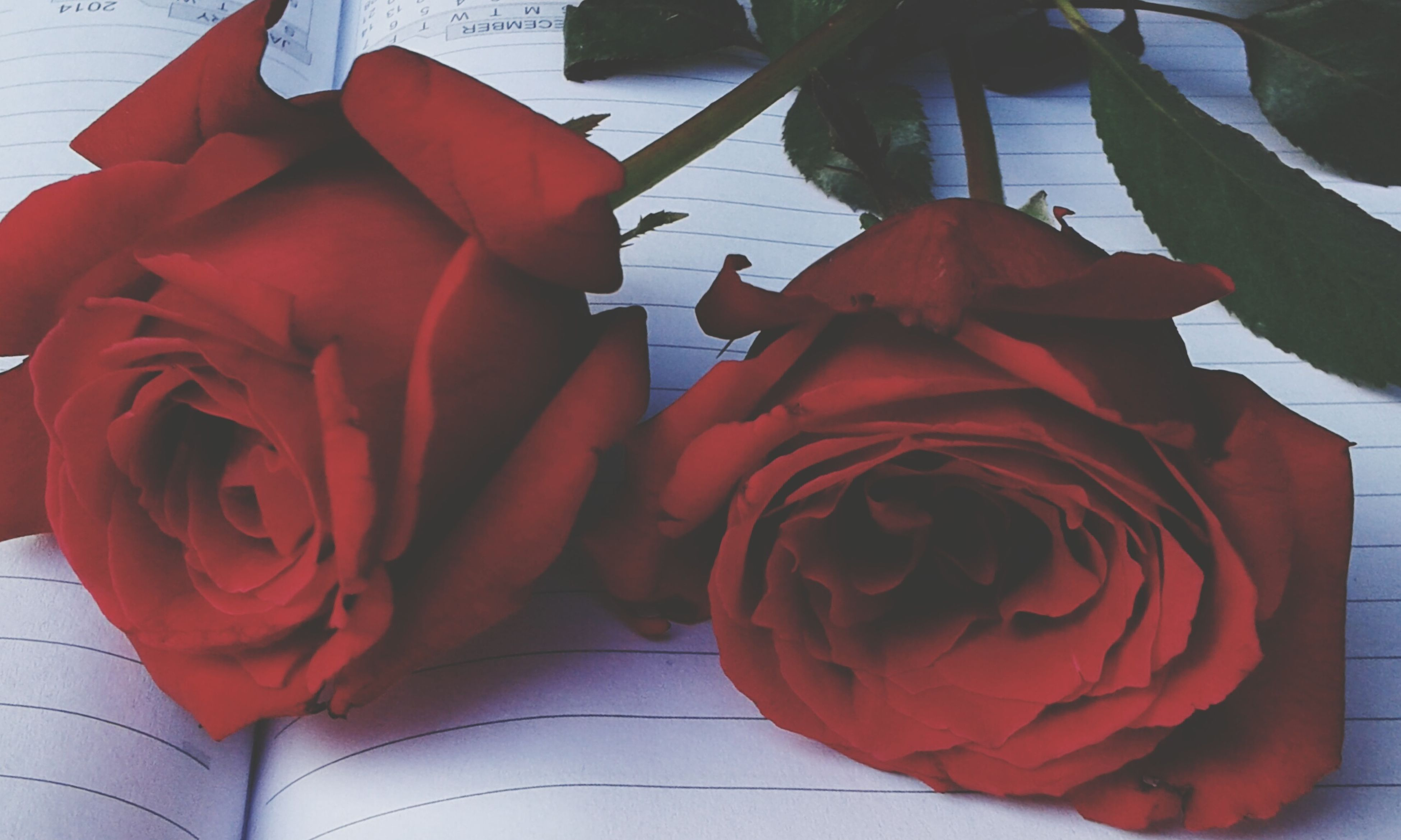 flower, rose - flower, petal, nature, flower head, beauty in nature, freshness, red, fragility, no people, indoors, close-up, day