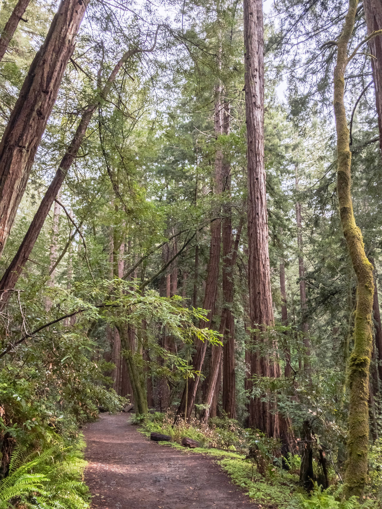 Muir Woods National Monument. California, USA. Photo by Tom Bland. Beauty In Nature California Forest Growth IPhone IPhoneography Landscape Magical Muir Woods Nature No People Outdoors Quiet Redwood Redwood Trees Redwoods Rural Tranquility Trees WoodLand Woods Pathway Path Exploring