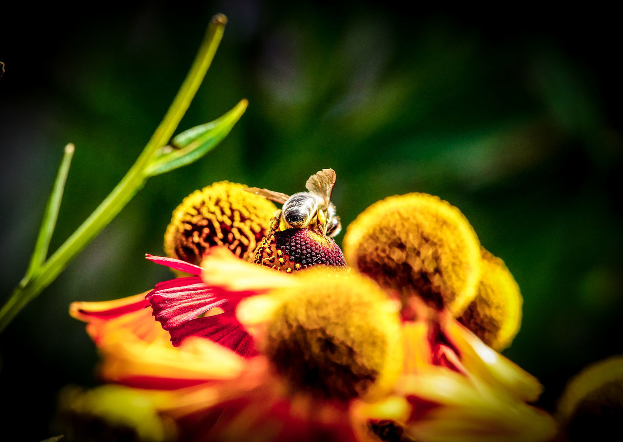 Moon Harvest Animal Themes Animals In The Wild Beauty In Nature Bee Blossom Close-up EyeEm Best Shots EyeEm Macro EyeEm Nature Lover Flower Flower Head Fragility Freshness In Bloom Insect Nature One Animal Petal Pollen Pollination Selective Focus Sonnenhut Springtime Wildlife Zoology