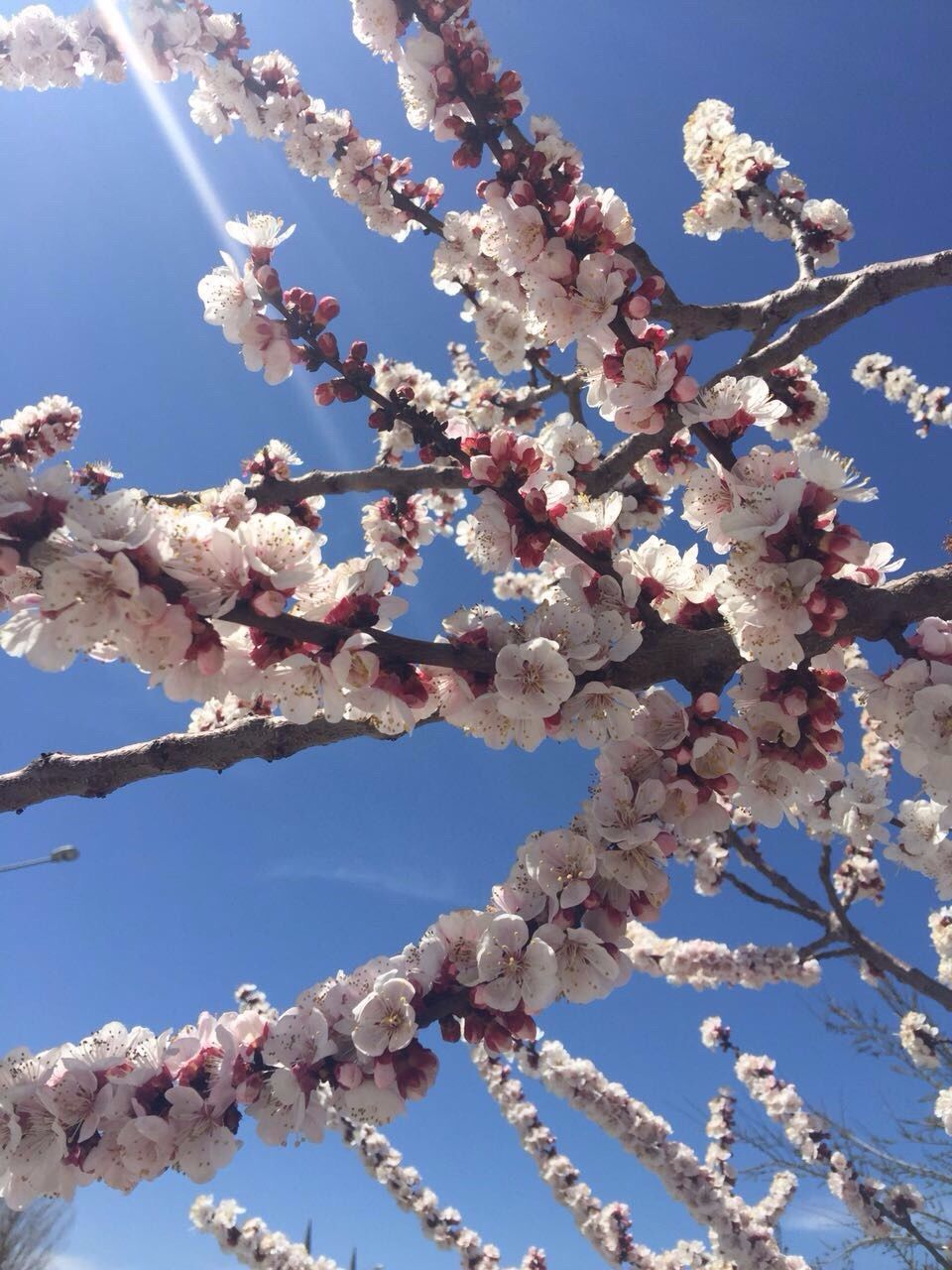 flower, fragility, beauty in nature, blossom, low angle view, growth, branch, nature, tree, springtime, freshness, white color, day, no people, botany, twig, apple blossom, apple tree, orchard, petal, clear sky, outdoors, pink color, sky, close-up, plum blossom, blue, flower head, blooming