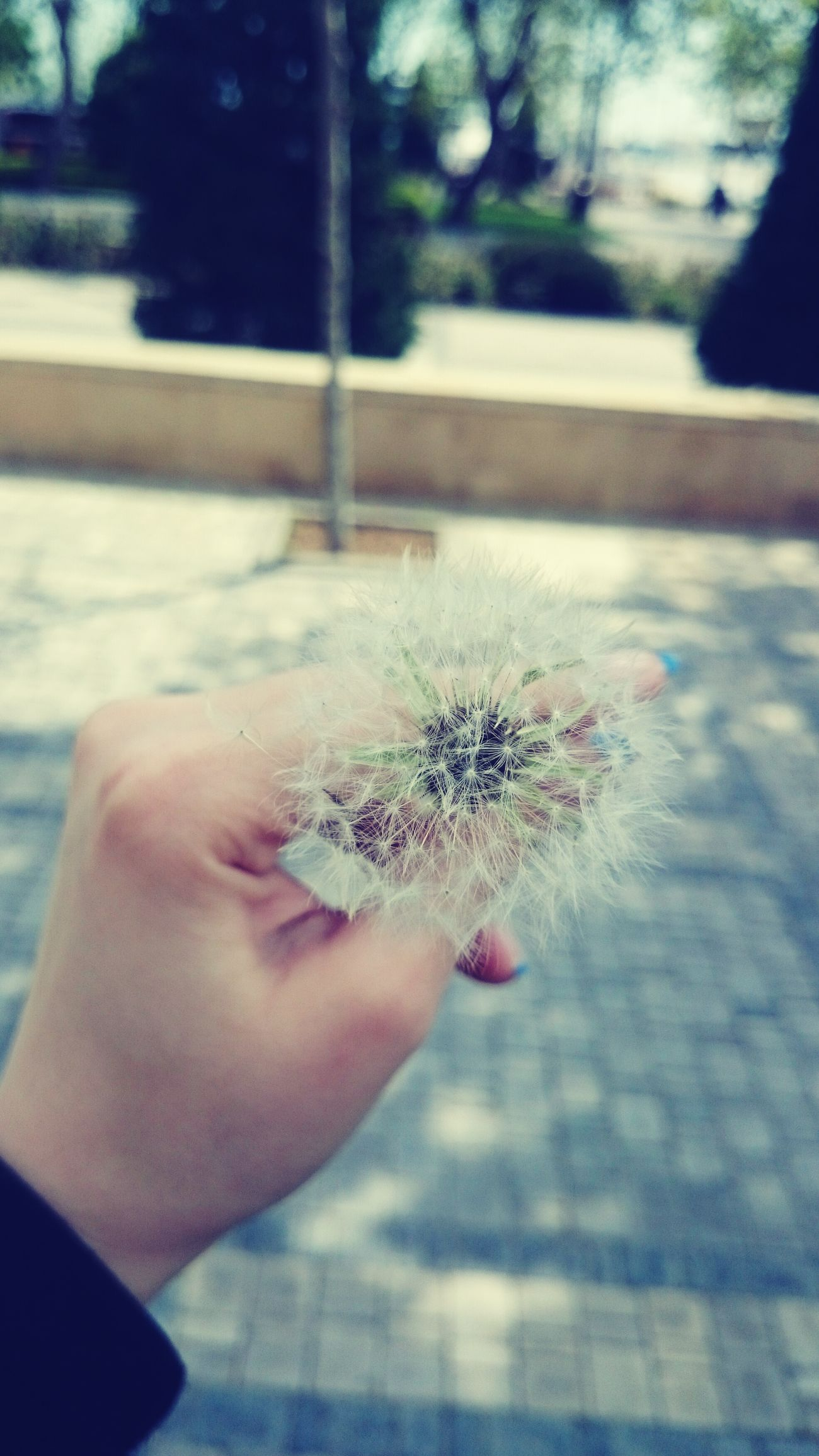 Lovely Dandelion Dandelion In Spring Dandelionfluff Dandelion In My Hand😊 Dandelion Addiction