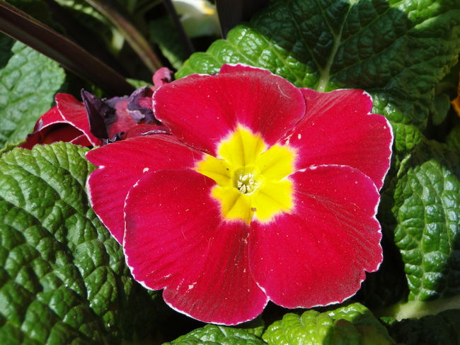 Beauty In Nature Blooming Botany Close-up Flower Nature No People Primrose