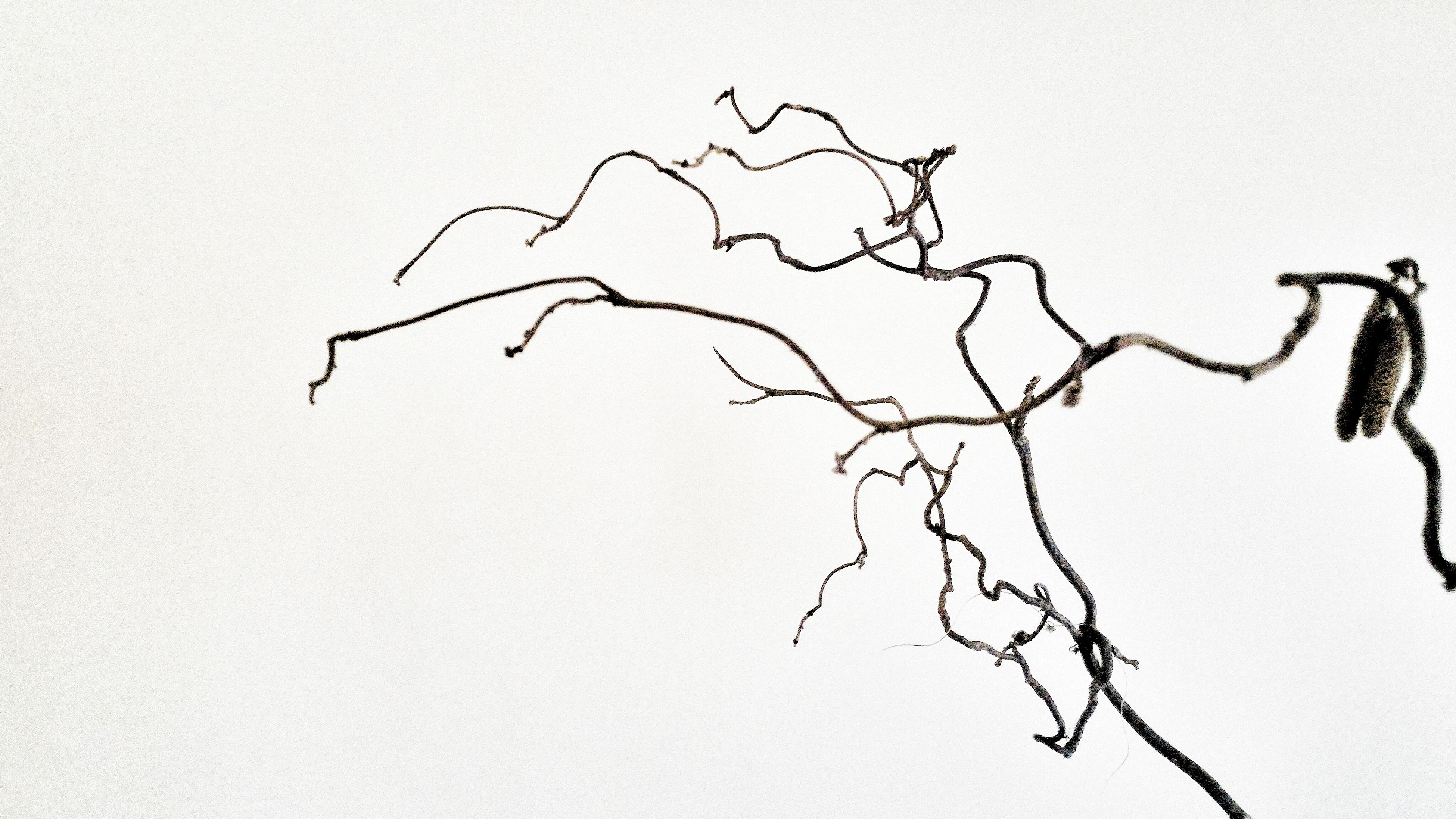 First Eyeem Photo Decorative Dry Branches Hazel Branch Branch Of A Tree Branch Of Hazel Home Decor