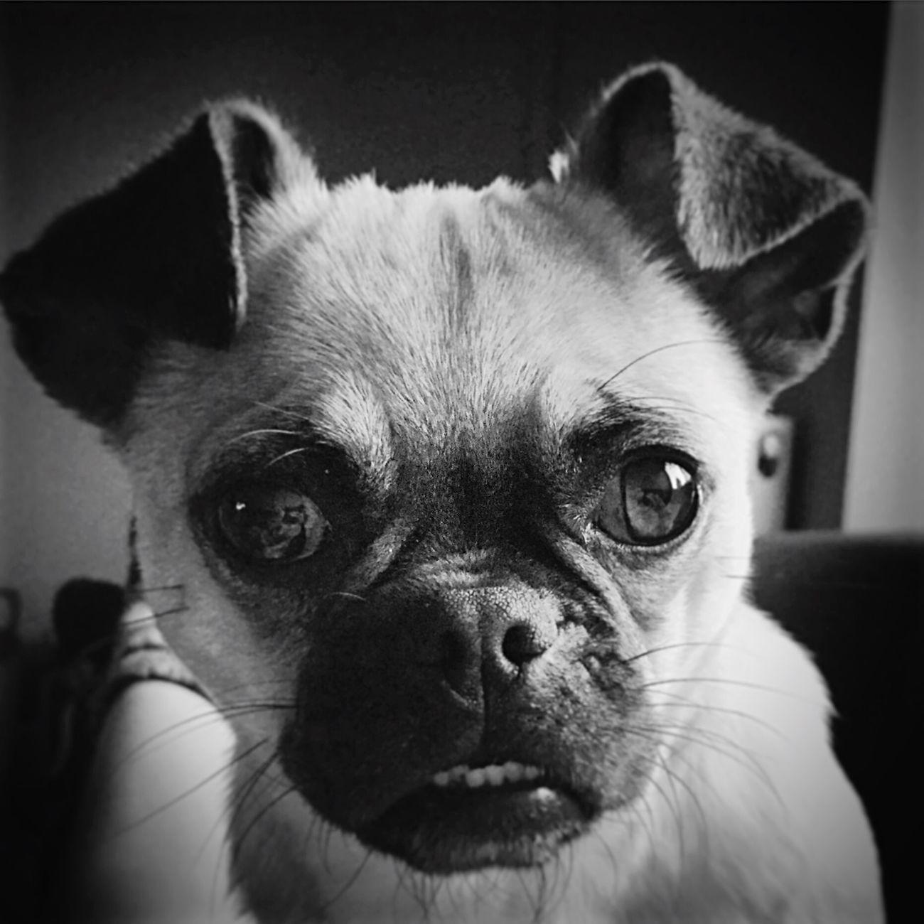 She's so chugly ❤️ Chug Pug Chihuahua I Love My Dog Pets Corner