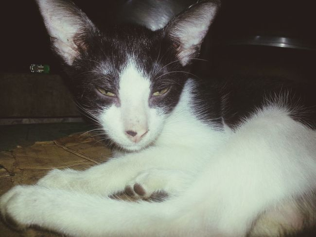 Fierce. . . Cat Cat♡ Cats Cat Lovers Catoftheday Catlovers Blackandwhitecat Black & White Animals Animal Photography Aparri, Cagayan Philippines Aparri
