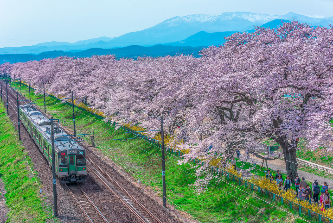 Cherry Blossoms Hanami Japan Miyagi Nature Sakura Sendai Tohoku Tourist Destinations Train Tress The Drive