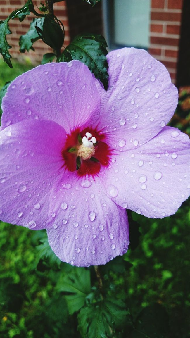 Summers Over Flower Wet Petal Flower Head Beauty In Nature Purple Single Flower Rain Purity Close-up Sony Z2 Photography Nature Human Meets Technology