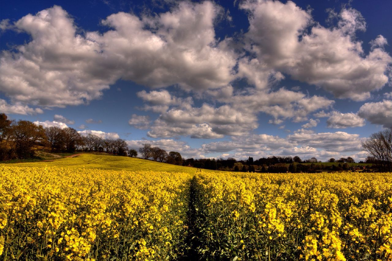 yellow, flower, agriculture, rural scene, field, beauty in nature, growth, landscape, farm, oilseed rape, tranquil scene, sky, nature, freshness, crop, scenics, tranquility, abundance, cloud - sky, cultivated land