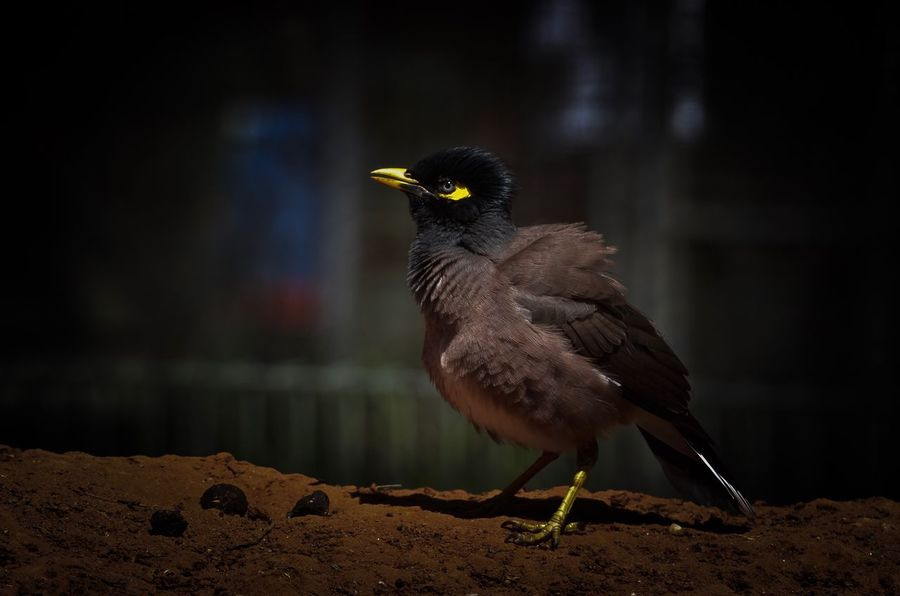 An aggressive and confident bird, the common myna has adapted well to the urban environment, making it one of the most abundant and familiar birds in Asia. Myna Mynah Common Mynah Indian Myna Bird One Animal Animal Themes Animals In The Wild Animal Wildlife Perching Focus On Foreground No People Nature Outdoors Full Length Day Close-up