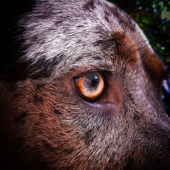 Golden Eye Shine Bright Like A Diamond  Golden Catahoula Catahoula Bulldog Dog My Dog
