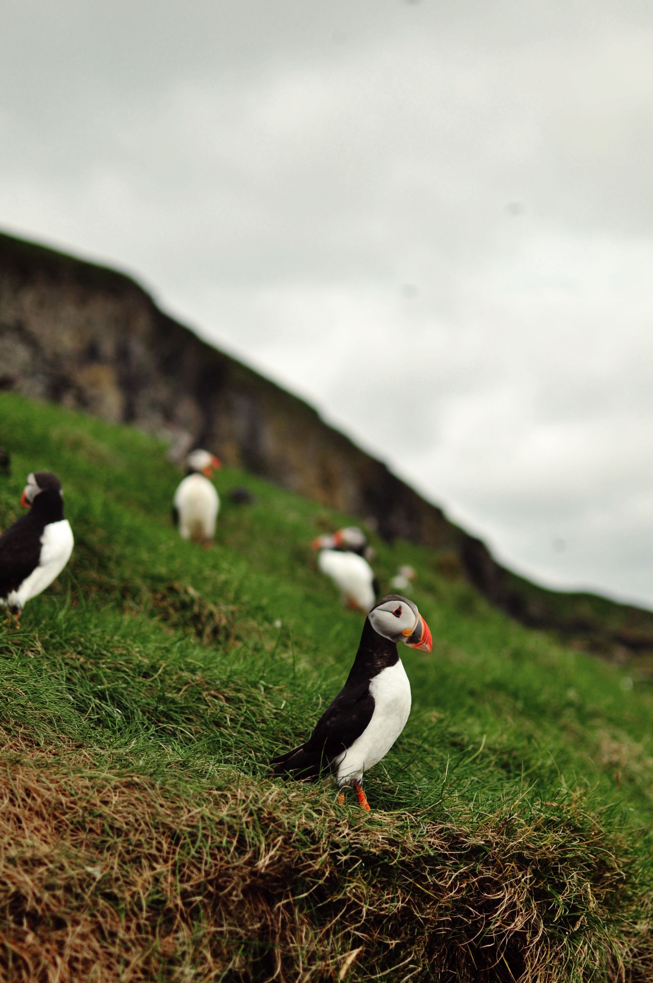 Animal Themes Animals In The Wild Beauty In Nature Bird Day Faroe Islands Freedom Mountain Nature Non-urban Scene Puffin Sky Tourism Wildlife