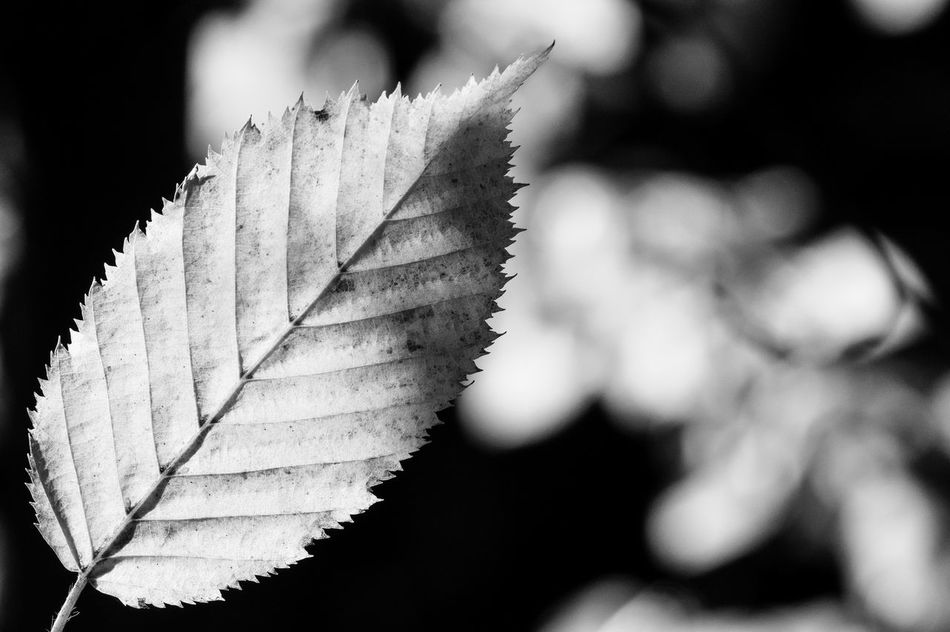 Leaf Leaf Vein Leafs First Eyeem Photo Fine Art Fineart Macro Blackandwhite Black And White Close-up Nature Beauty In Nature Decay Fall Shine Shine Through Backlight Single Object Autumn