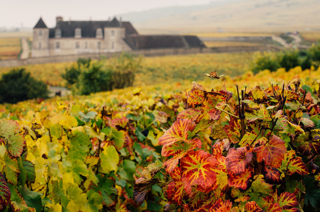 Agriculture Architecture Autumn Beauty In Nature Bourgogne Building Exterior Burgundy Close-up Day Field Flower Flower Head Focus On Foreground Growth Landscape Leaf Nature No People Outdoors Plant Rural Scene Scenics Tranquil Scene Vineyard Winemaking