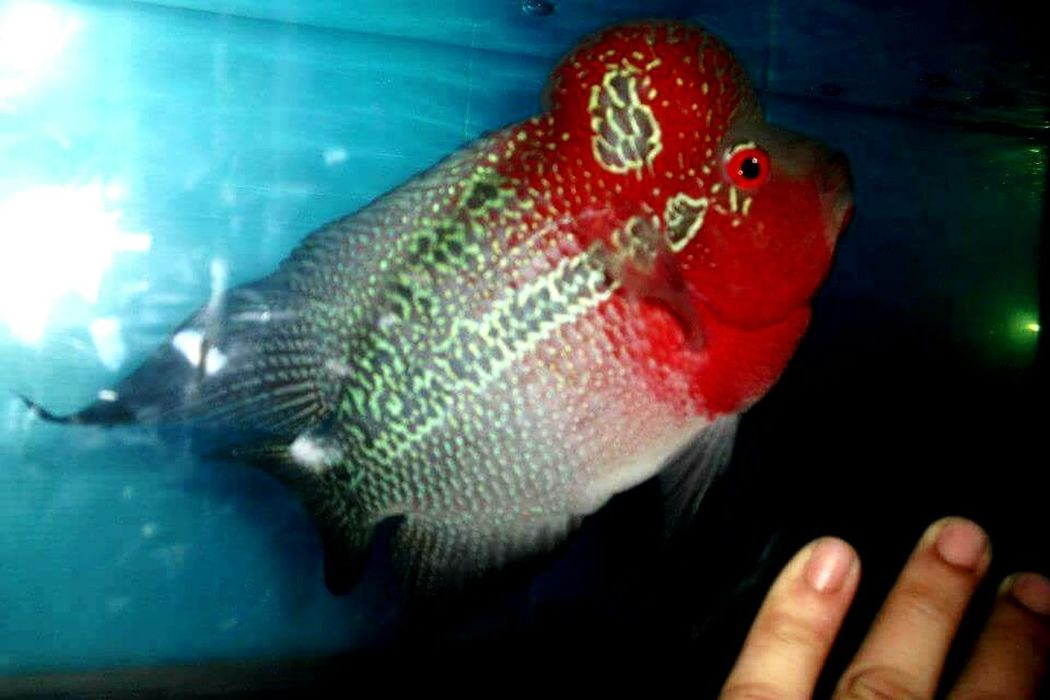 Fish Underwater Animal Sea Sea Life One Animal Swimming Indoors  Animal Fin Water UnderSea Animal Themes No People Close-up Nature Day Flowerhorn Fish Flowerhornfish Louhan Louhans Flowerhorn