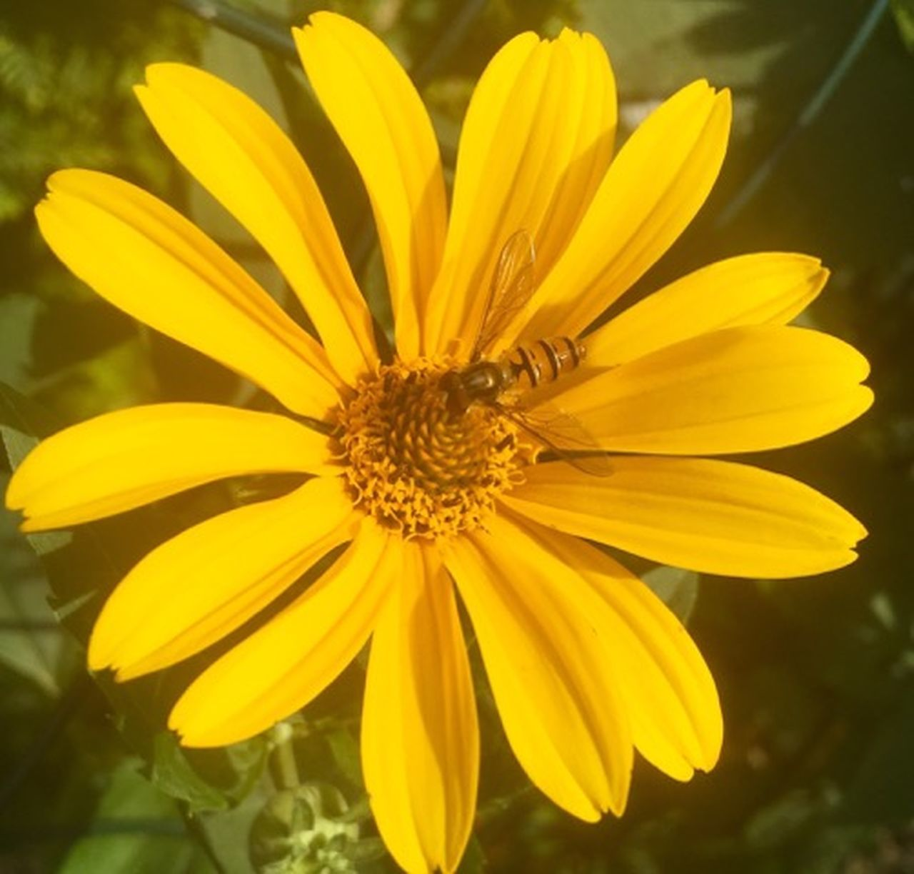flower, petal, fragility, yellow, flower head, growth, nature, plant, freshness, beauty in nature, pollen, blooming, day, outdoors, no people, focus on foreground, close-up, gazania, springtime, black-eyed susan