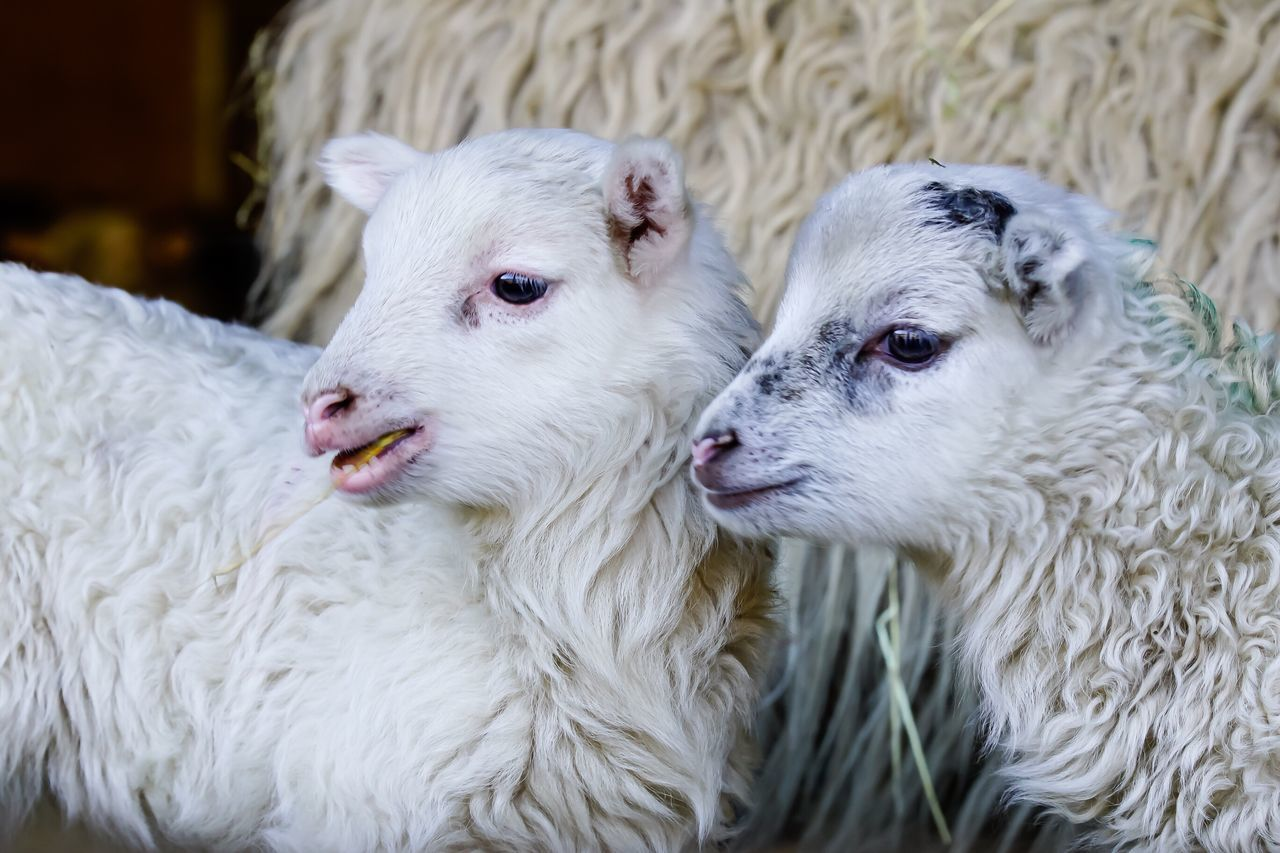 Easter Ready Lamb Lambs Sheep Animals Easter Lamb Lamm Osterlamm Cool Tiere Schafe Love Photooftheday Eye4photography
