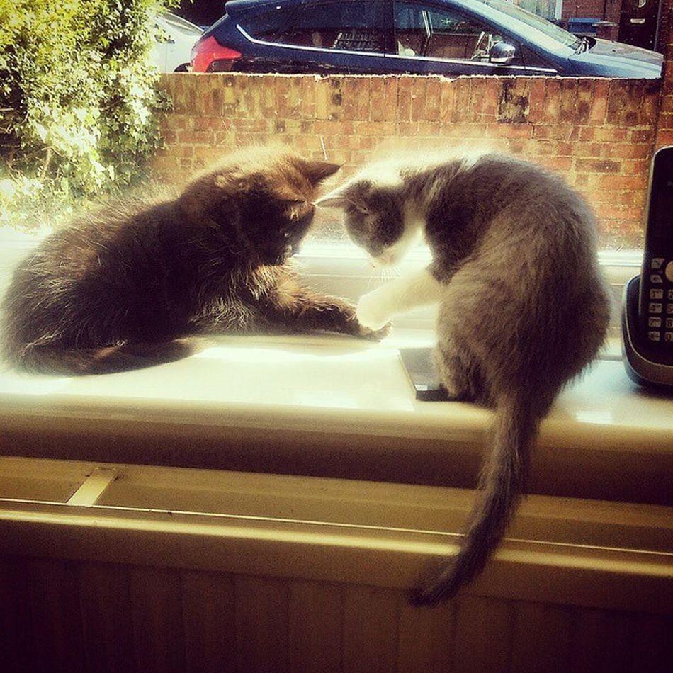 The boys playing rocks and scissors. Obiwan QuiGon Kittens Catsofinstagram