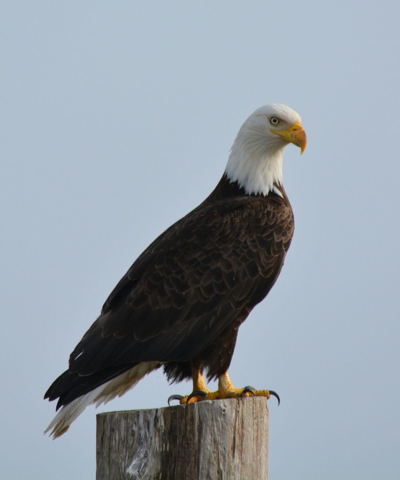 Beautiful stock photos of bald eagle, Bald Eagle, Clear Sky, Day, Eagle