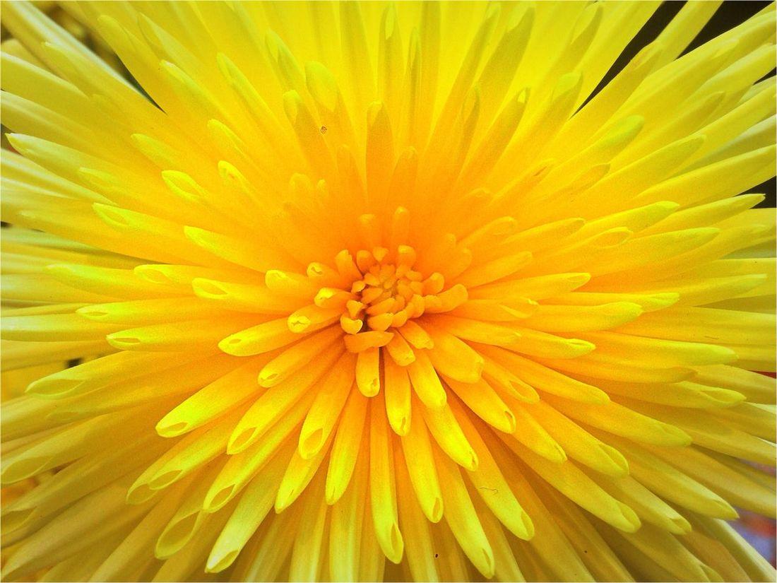 Yellow Chrysanthemum Urban Nature Hanging Out Taking Photos
