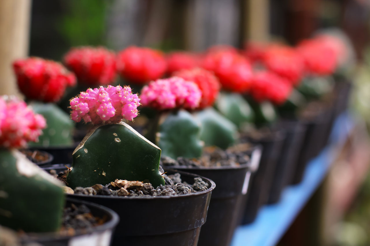 Cactus Cactus Collection Cactus Flower Cactus Garden Cactusclub Cactusflower Cactuslover Cactusplants Cactusporn Close-up Flower Focus On Foreground Freshness Growth Leaf Nature Plant Plants Plants And Flowers Plants And Garden Plants Collection Plants 🌱 Red Red Selective Focus