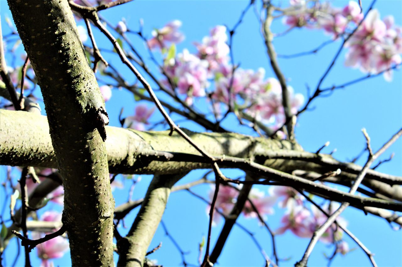 branch, tree, day, low angle view, nature, beauty in nature, outdoors, flower, no people, growth, clear sky, fragility, sunlight, close-up, focus on foreground, springtime, freshness, blue, sky