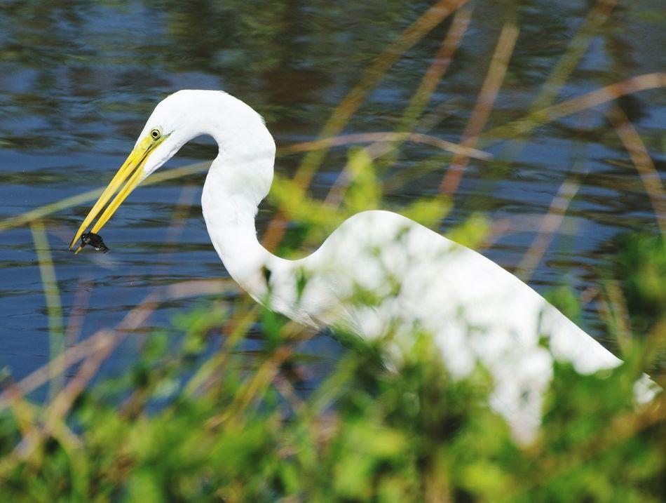 White Egret Bird Photography Ffish Mealtimes Water Bird Feeding Shore Bird United States South Carolina Outdoors