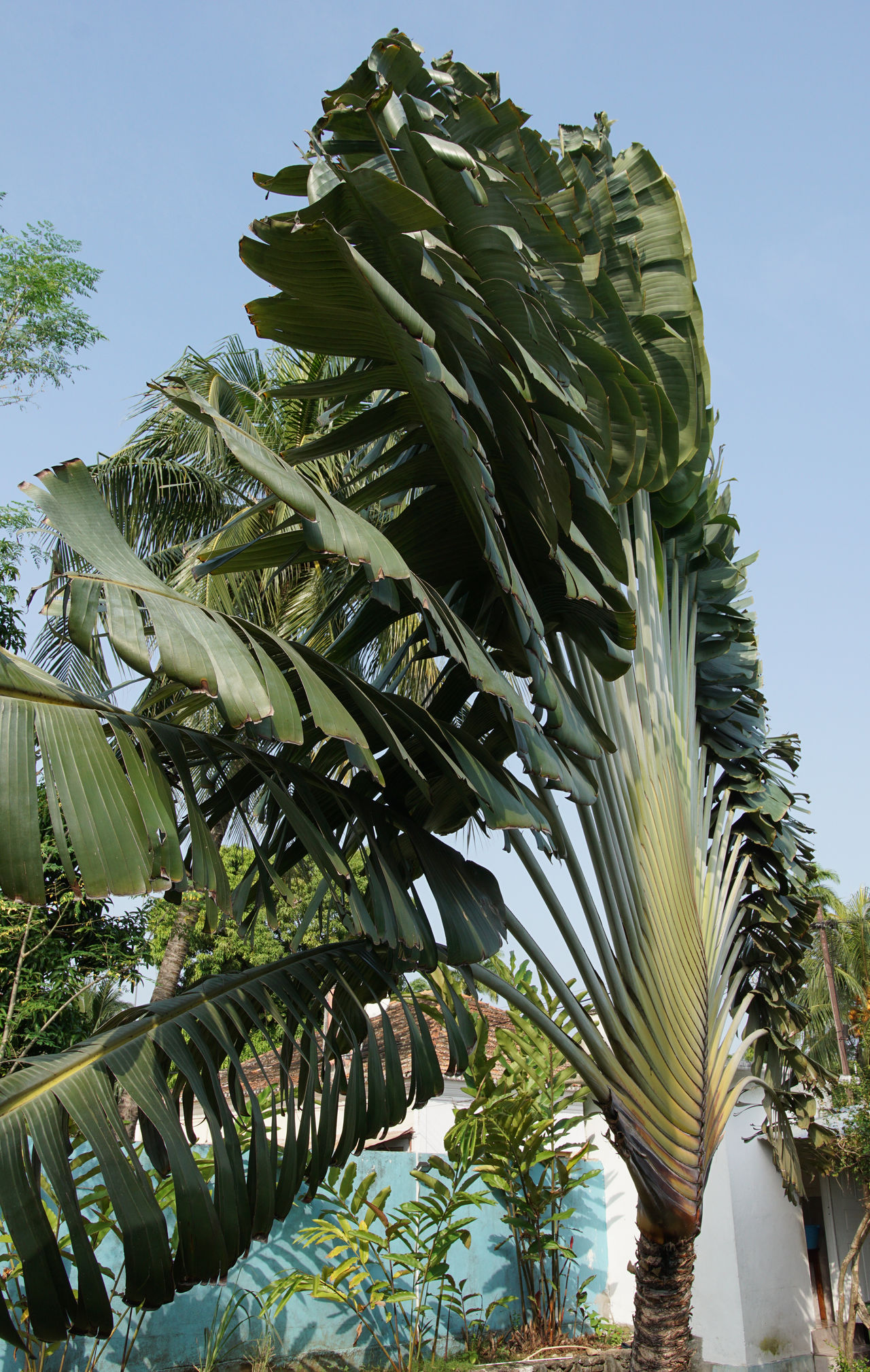 Traveller´s tree, Ravenala madagascariensis, Sao Tome, Africa Africa Botanic Day Flora Humid Climate Nature No People Outdoors Palm Tree Plant Ravenala Ravenala Madagascariensis Sao Tome Sao Tome And Principe Tourism Travel Traveller´s Tree Tree Tree Tropical Tropical Climate Vegetation