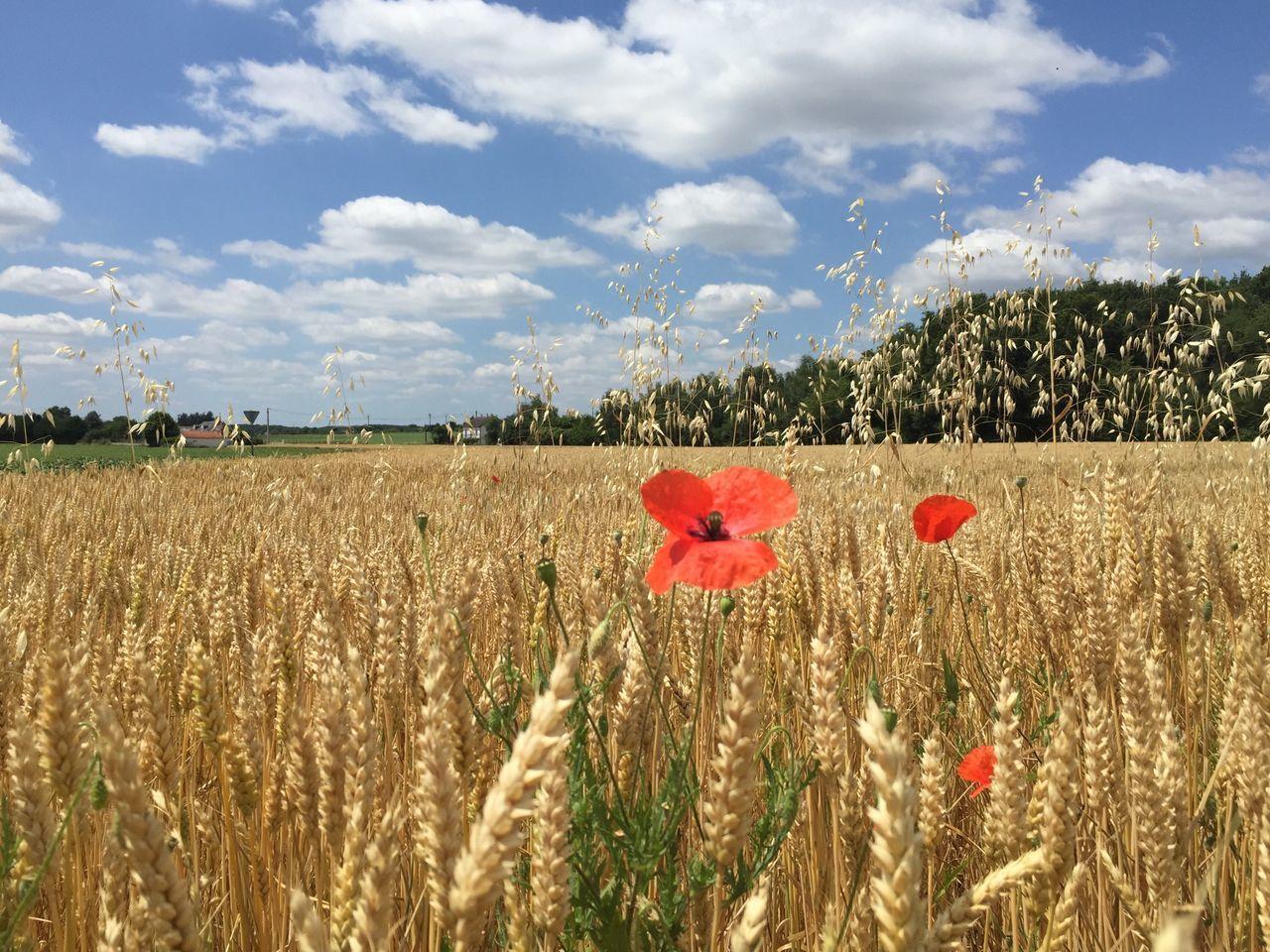 Poppy Growing In Wheat Field