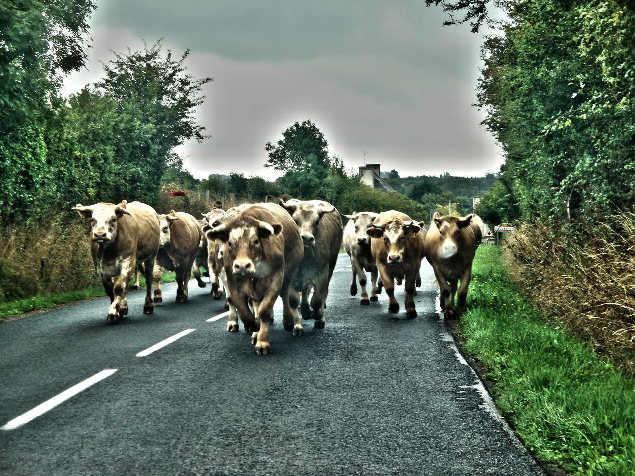 Agriculture Animal Animal Photography Cows Grazing Day Domestic Animals Herd Large Group Of Animals Livestock Mammal No People Outdoors Road Sky Street