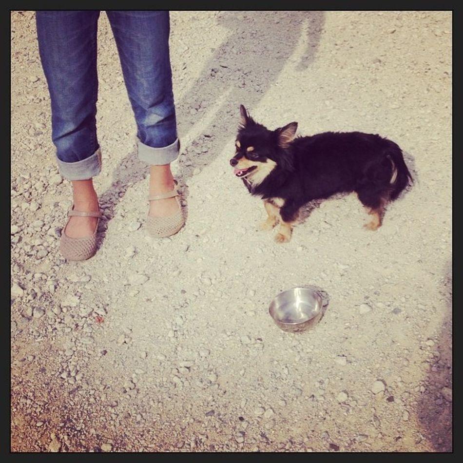 """迷い犬 野良犬 今回いろんなラッキーが重なって保護できましたが…いろいろ考えさせられましたよ。 一番ネックだったのが犬なので捕獲しても自分で保護できない…猫と違って最悪自分で飼ってしまえみたいな覚悟ができないとこですね。せめて首輪でも付いてれば捕まえてから飼い主探すなり、処遇も考えられますが…首輪無いし手も足も出ない? 他に保護ボランティアに相談したところでどこの施設も余裕があるわけでももなく、発見者が一時預かり前提だったりします。どこも命は守りたいけど、病気や状態の不明な子を闇雲にシェルターに受け入れられないのが現実…。 ということで仕事に行く間に知り合いを当たって引き取り先を探すわけですが…。ここは運よくほぼ一発で職場の人が承諾。ここらへんも小型犬でなおかつチワワだったのが最大の後押しだったことは言うまでもない。これが雑種だったり中型犬以上だったらこんなに早い決着はなかったでしょうね…。 さて仕事を終えていざ捕獲となりますが、まだ駐車場に無事でいるのか?事故にでもあっていないのか?不安のまま帰宅。 幸い駐車場に小さな影が…ほっ。 でもここからもエサで慣らしながら小一時間格闘しながら捕獲…。私が犬や捕獲作業自体に慣れてないせいもあるだろうけど、捕獲ボランティアさんやそれこそ保健所の人も大変だ…一日頑張っても捕まえられない事もあるだろう。 運がいいのか悪いのか家の目の前の駐車場だったからなんとか保護できたけど…別の場所だったら正直そのままさよならバイバイだったろうに…。 これが毎日数匹、いやいや何十何百匹だったら…と思うと考えられません。誰が死にかけの命を救ってくれるの?誰がボロボロの老犬の最後看取ってくれるの?誰が病気やケガの犬や猫を引き取ってくれるの?誰が虐待で人に慣れず牙を剥く動物を受け入れてくれるの? 正直闇雲に命を奪うのはいいとは思わないけど殺処分もある程度は致し方ないのかもしれないと思いました。 それよりもこういう状況に追いやられる子達が増えないような飼い主側のモラルや覚悟と、供給側のペットショップなどの命の無責任な過剰乱売などの規制、社会的な整備が必要なんでしょうね。 ちなみに今現在警察にこの子に該当するチワワの迷子の問い合わせは無いようです…。 明らかに室内犬だよ…庭で飼ってる犬が家出したのとはちょっと違うと思うんだけど、飼い主何やってんだか…。 首輪が無い時点で野犬であり野良猫扱いなので、我が子がかわいいなら気をつけましょう。(私含む) ペットは生き物ですが、警察にとどけられただんかいで""""落し物""""扱いなので半年間の保管(保護)の後自動的に保健所行きだそうです。"""