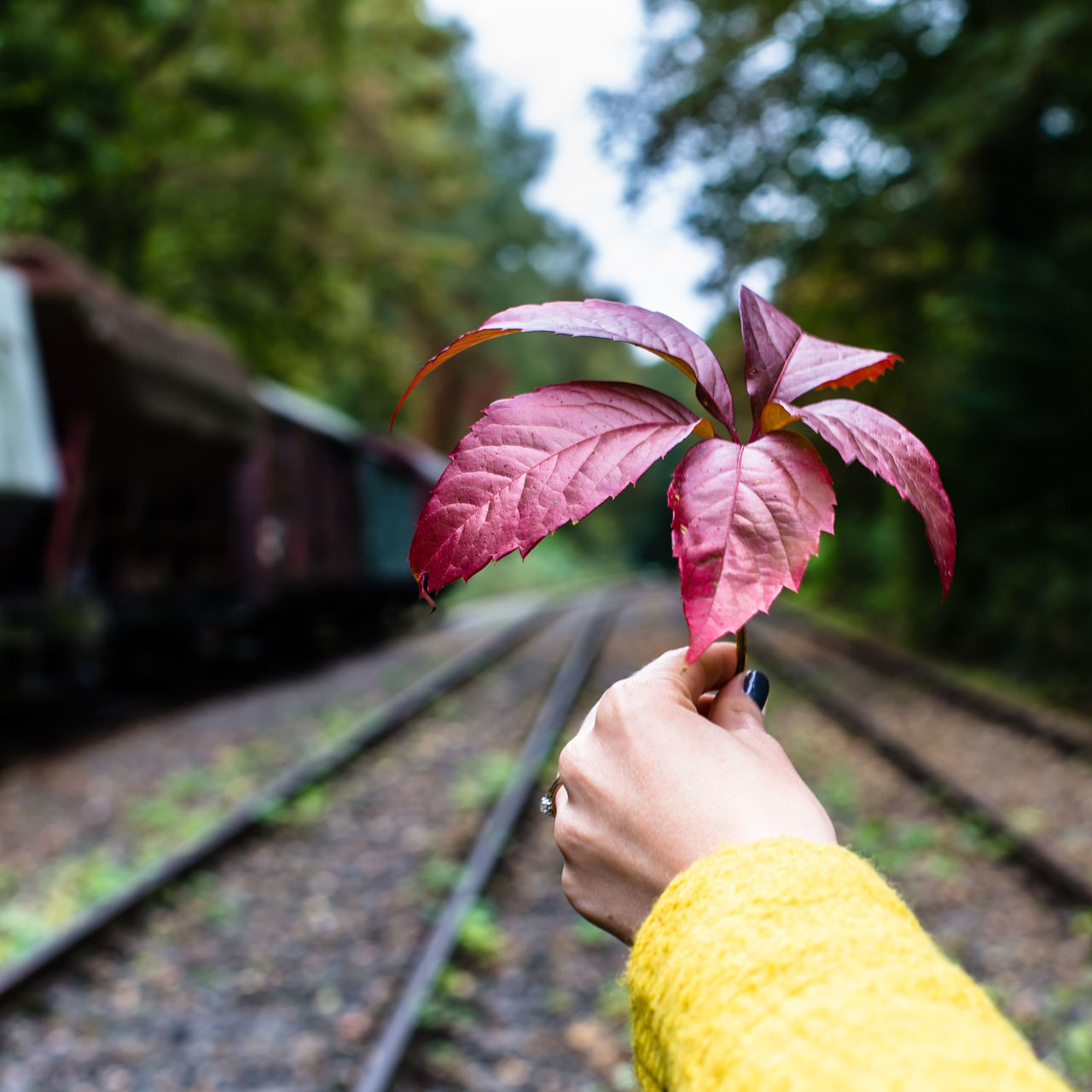 Autumn Watching / from my Autumn Sessions - more stuff on Instagram & Facebook Autumn Autumn Colors Botany Close-up Cropped Day Flower Flower Head Focus On Foreground Holding Human Finger Leaf Nature One Woman Only Outdoors Part Of Person Personal Perspective Pink Color Railway Railway Track Red TakeoverContrast