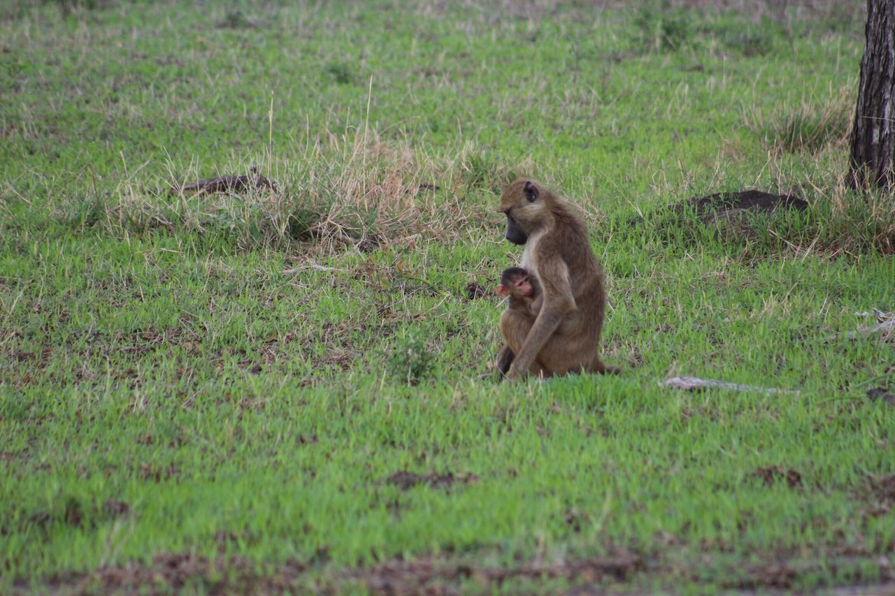 animals in the wild, grass, field, animal themes, mammal, green color, nature, animal wildlife, outdoors, day, monkey, no people, sitting, baboon
