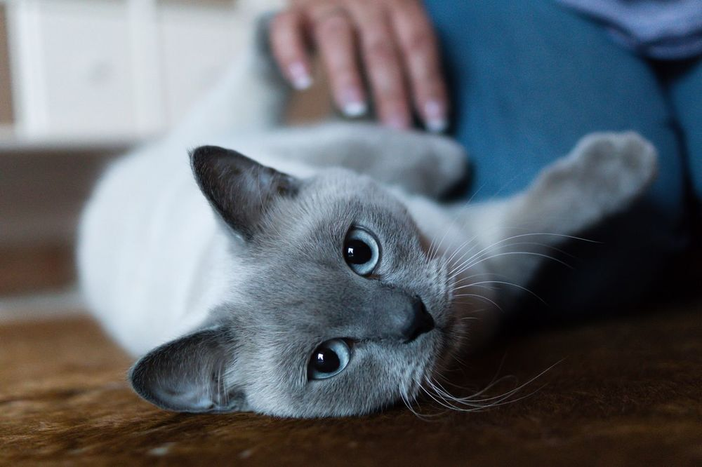 British Shorthair Cat Cat Lovers Animals Showcase July Britisch Kurzhaar Beauty Cat Tiere Animal Photography Animallovers