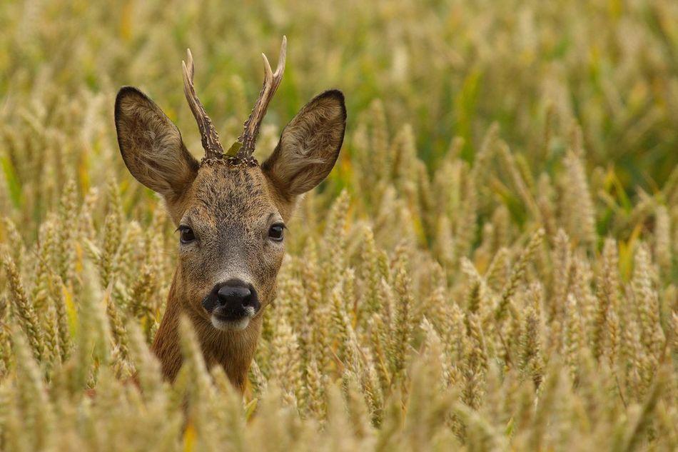 Beautiful stock photos of hirsch,  Animal Body Part,  Animal Head,  Animal Themes,  Animal Wildlife