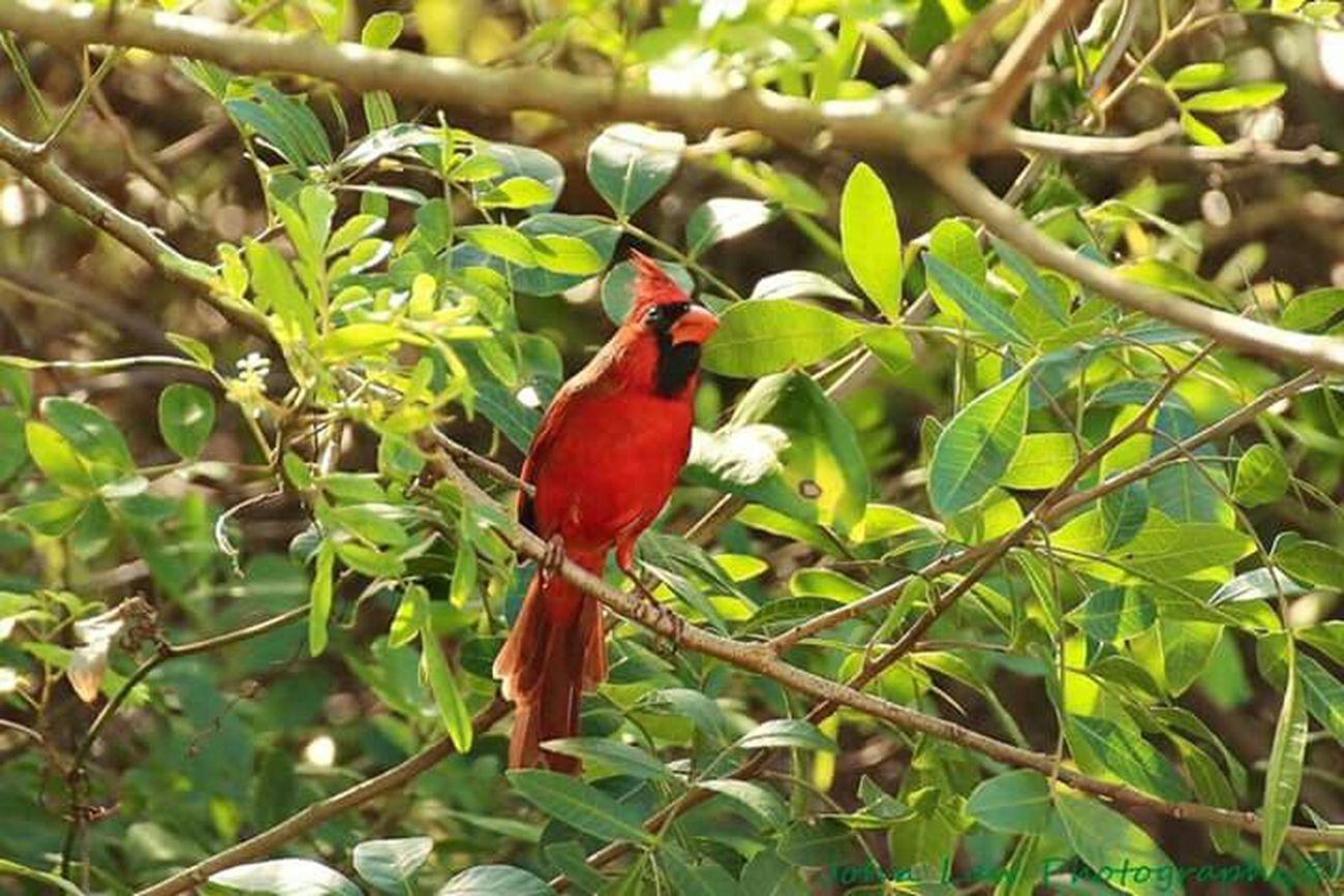 Cardinal in the tree Cardinal Redbird Papa Red Bird Sitting In A Tree Bird Photography Bird Watching Outdoor Photography Green Leavea