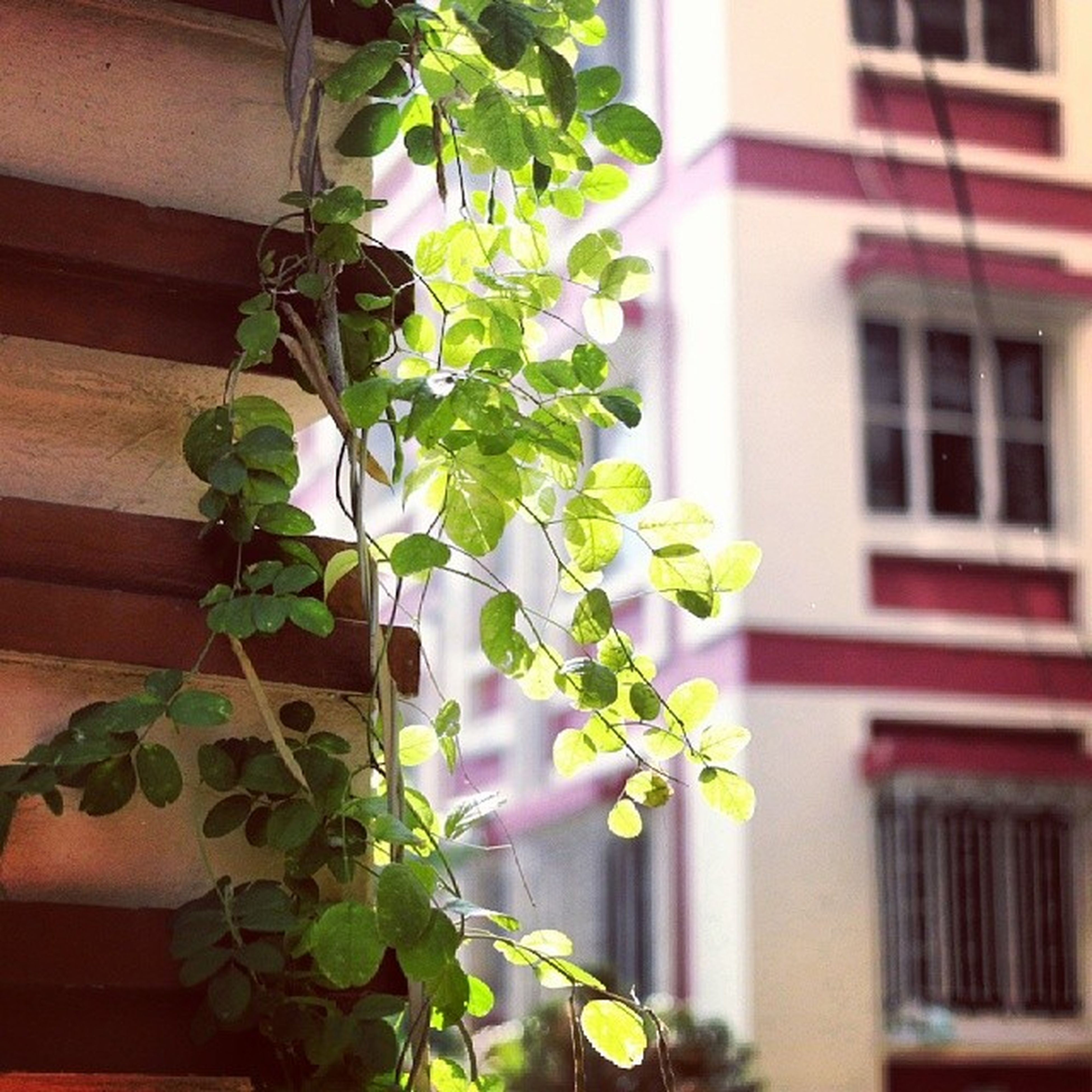 building exterior, architecture, built structure, growth, leaf, plant, window, house, potted plant, low angle view, green color, residential structure, residential building, ivy, balcony, nature, close-up, day, no people, front or back yard
