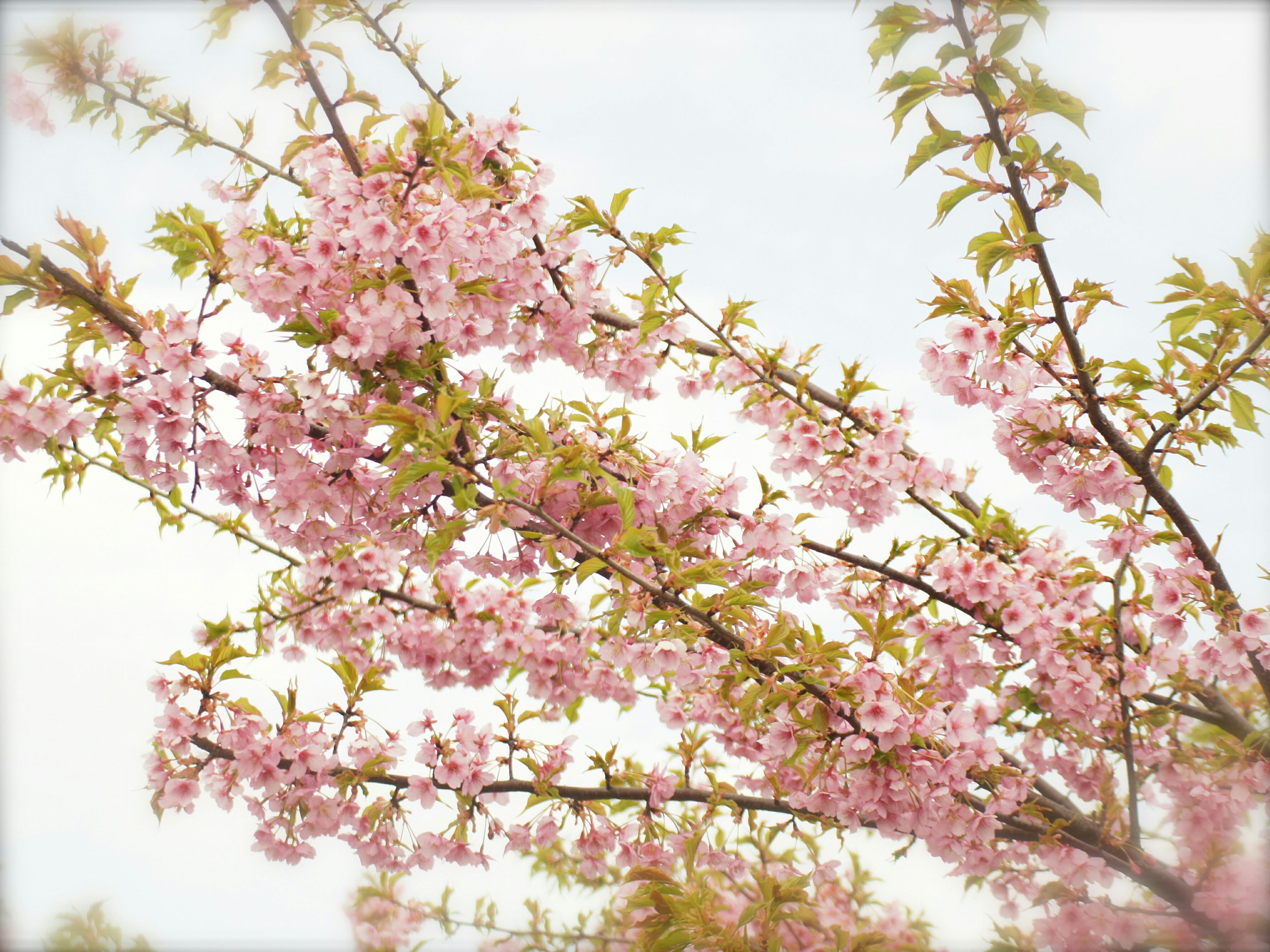 flower, tree, freshness, low angle view, growth, branch, pink color, fragility, beauty in nature, blossom, nature, cherry blossom, in bloom, blooming, springtime, cherry tree, sky, clear sky, petal, pink