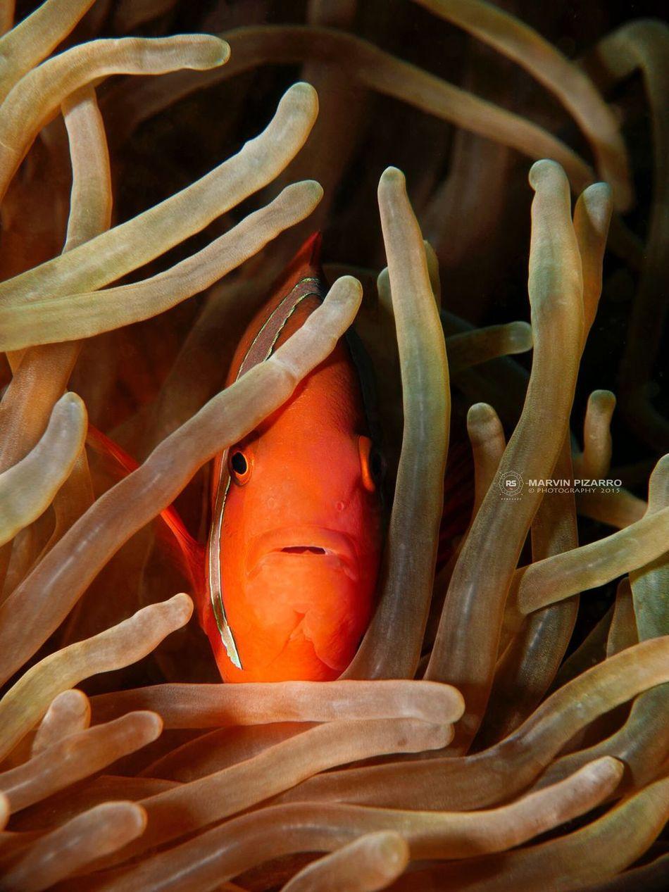 Trying out macro underwater. 👌 Dive SCUBA Underwater Underwater Photography Reef Clownfish Macro Macro Photography Anilao, Batangas Anilao Philippines First Eyeem Photo