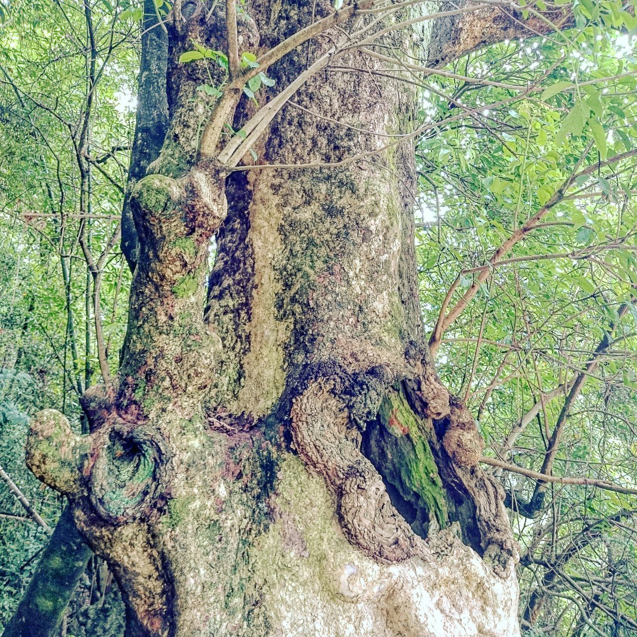 tree, nature, forest, tree trunk, branch, day, no people, growth, moss, green color, outdoors, plant, beauty in nature, leaf, close-up, dead tree